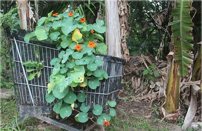 Capuchinha: tem um sabor amarguinho e flores que também são comestíveis. Na UFSC-Trindade você pode encontrar as capuchinhas na região do Colégio de Aplicação, Centro Tecnológico e Arquitetura.
